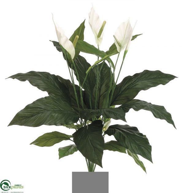 Spathiphyllum Madonna Peace Lily 90cm single x 12 lvs x 3 flwrs x 1 bud