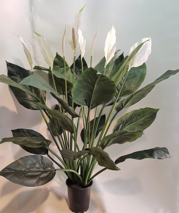 Spathiphyllum Madonna Peace Lily 90cm double x 24 lvs x 6 flwrs x 2 buds