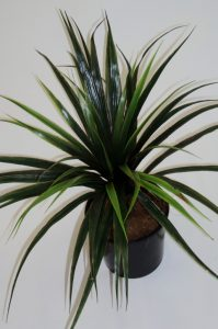 Yucca Head x 56 lvs