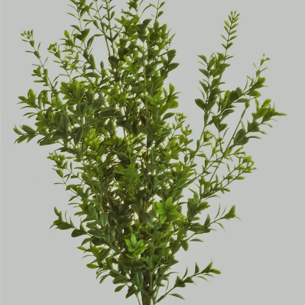 Boxwood Berry Bush 30cm