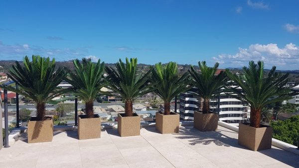 Cycad trees UV stable