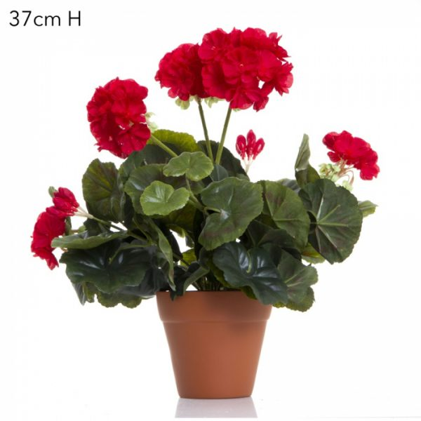 Geranium Bush Red single