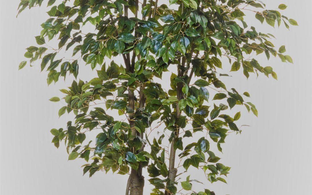 FICUS BENJAMINA TREE 3mt SILK TREES AND PLANTS