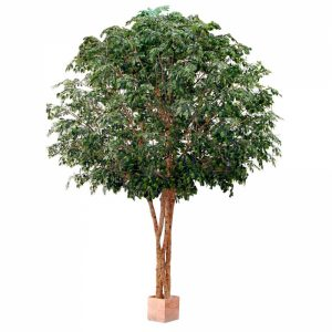 Giant Ficus 4.6mt x 4 on natural stems