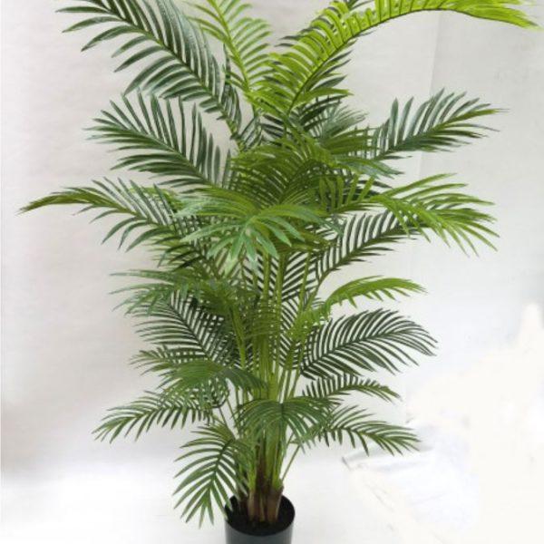 Golden Cane Palm 180cm