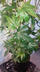 artificial-marijuana-au-7