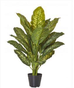 Dieffenbachia plant 120cm