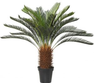 Giant Cycad 120cm