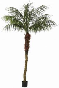 Phoenix Palm 2.1mt