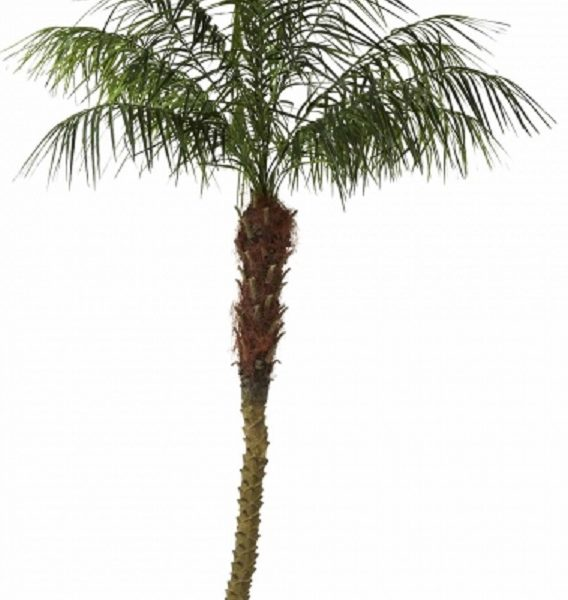 Phoenix Palm 210 cm