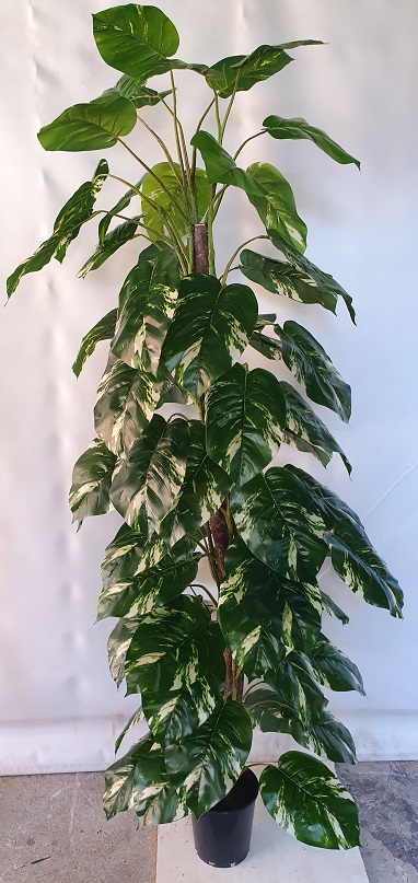 Pothos 180cm on Totem Pole x 66 lvs