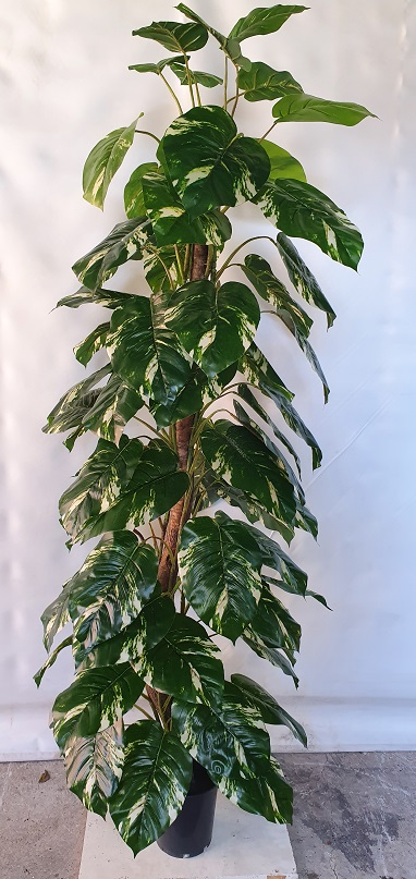 Pothos 180cm on totem pole