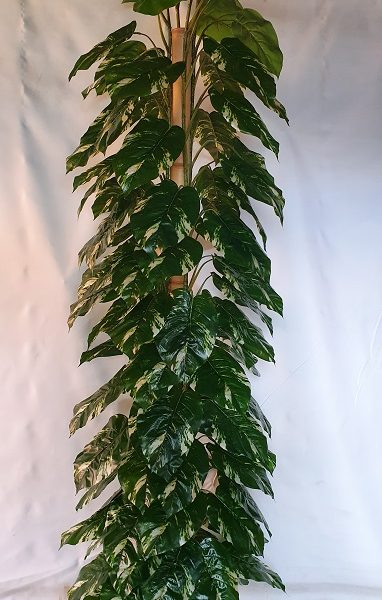 Pothos 220cm on totem pole